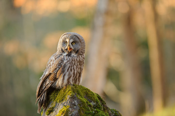 Fototapete - Great grey owl sitting on mossy stone