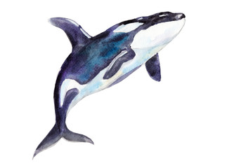 Watercolor orca, hand-drawn illustration isolated on white background.