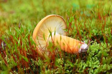 lactarius volemus mushroom