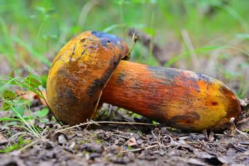 neoboletus luridiformis mushroom
