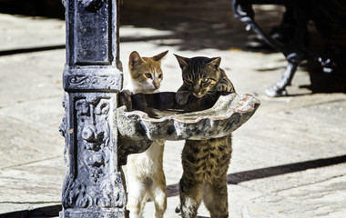 Street cats drinking water on the street