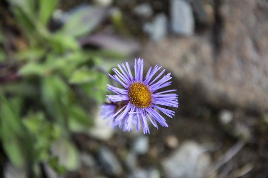 Purple wildflowers in western Sichuan