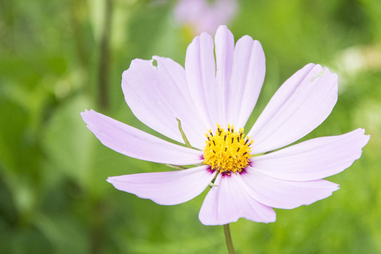 Gesang flower in western Sichuan plateau, China.