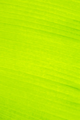 Green banana leaf texture and background