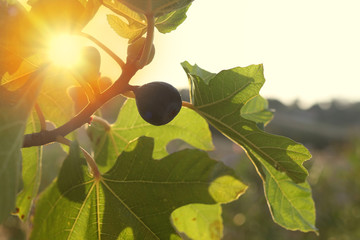 Fig growing on tree in the sunset