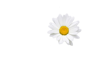 White daisy flower isolated on white background, top view