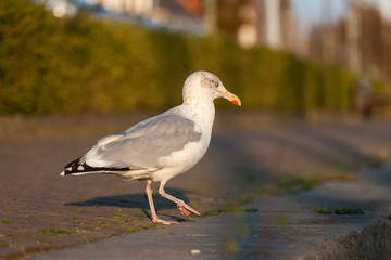 Seagull sitting on the pavement - Brouwershaven, Zeeland, Holland, Netherlands, Europe