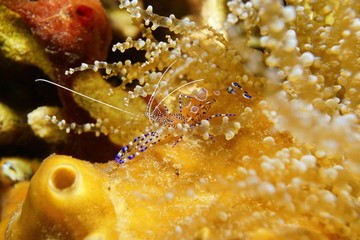 Sea life, a spotted cleaner shrimp, Periclimenes yucatanicus, underwater in the Caribbean sea