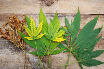 yellowed autumn dried cannabis leaves on a wooden background