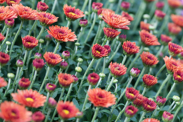 Field red chrysanthemums floral background. Many colorful mums flowers close-up photo. Selective focus