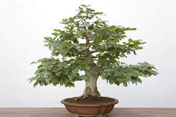 European or Common Beech (Fagus sylvatica) bonsai on a wooden table and white background
