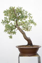 Evergreen oak (quercus ilex) bonsai on a wooden table and white background