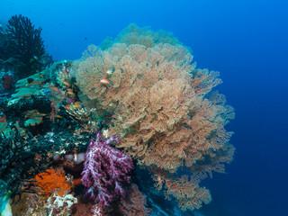 Seefächer am Korallenriff