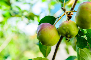 Apples on a branch of apple tree