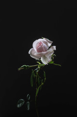 Small signle light pink rose on dark gray background
