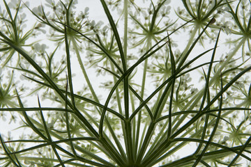 Closeup of the bract structure of Queen Anne's Lace from below