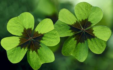 Glücksklee, vierblättrige Kleeblätter