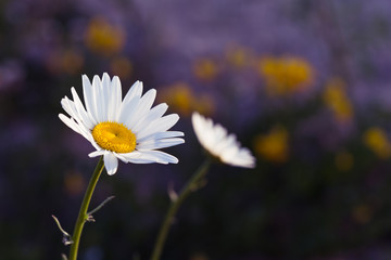 A yellow and white dandelion flower with other faded flowers in the background