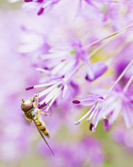 Extrem eclose up of hoverfly drinking from allium flower