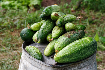Freshly harvested pickling cucumbers on top of metal bucket in a garden.