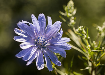 sicoria flower