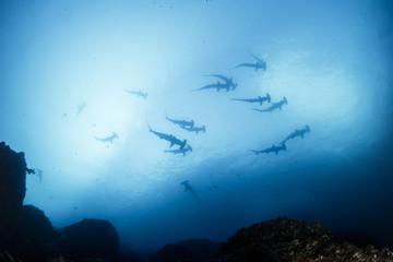 A school of hammerhead sharks on the move