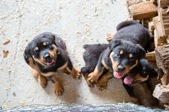Adorable Rottweiler puppies in a pen with sawdust