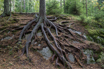 Pine tree and its long roots on a cliff in the forest in Finland in the autumn.