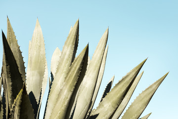 Pale green agave plant on a blue sky background
