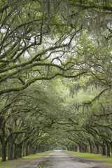 Row of Oak Tree Along Road