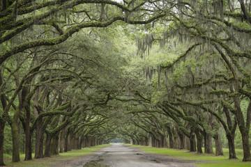 Road Between Large Old Oak Trees