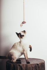 Beautiful siamese kitten playing
