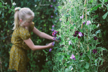 Sweet peas growing in a garden, and in the background, a little girl picking them.