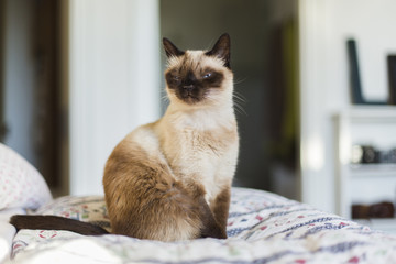 SIamese cat sits with funny face on quilt in bedroom