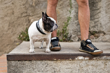 French bulldog with unrecognizable owner in sneakers