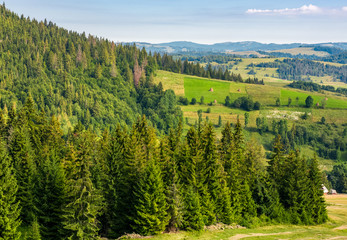 spruce forest on hills in countryside area. lovely summer landscape