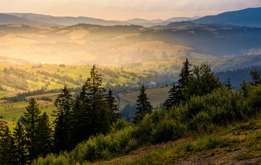 spruce forest on hills at foggy sunrise. gorgeous mountainous countryside landscape in summer. view from high altitude