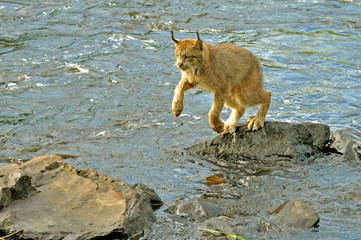 A adult Lynx jumps over water from one boulder to another.