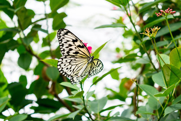 Beautiful paper kite butterfly on a pink flower in a garden greenhouse