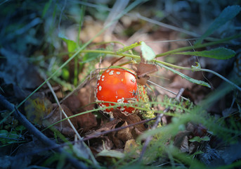 Photo of a bright red fly mushroom