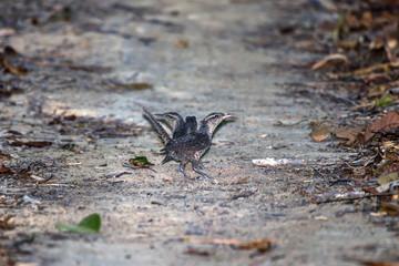Catatau (Campylorhynchus turdinus) | Thrush-like Wren photographed in Linhares, Espírito Santo - Southeast of Brazil. Atlantic Forest Biome.
