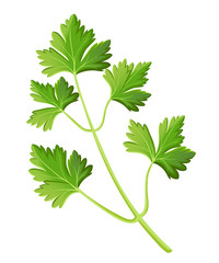 Parsley isolated on white photo-realistic vector illustration design element in culinary, cooking ingredient, package decoration, sticker, label.