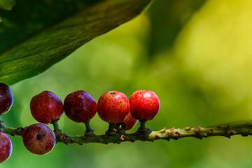 Fresh antidesma thwaitesianum fruit. Fresh red berry with green leaves in nature.