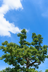 Neem tree or Azadirachta indica with blue sky background.