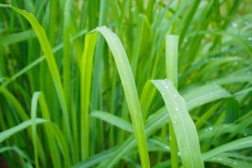 Lemon grass plant green leaf background