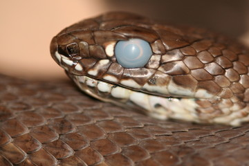 Snake with cloudy eye about to shed their skin Malpolon monspessulanus