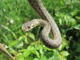 closeup of a head of a snake Malpolon monspessulanus