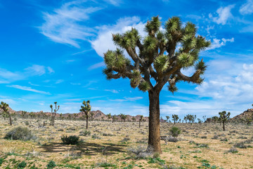 Joshua Trees in Joshua Tree National Park, Riverside County and San Bernardino County, California, USA