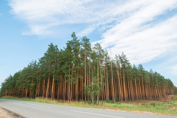 Fototapete - Landscape of pine forest. Beautiful nature Chuvash Republic.