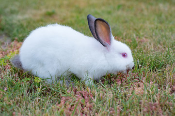 Fluffy white little rabbit with red eyes, on green grass